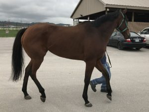 Buddy Thoroughbred Horse For Sale 20171014