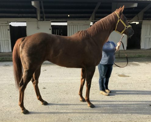 Star - Thoroughbred Horse For Sale - bits & Bytes Farm