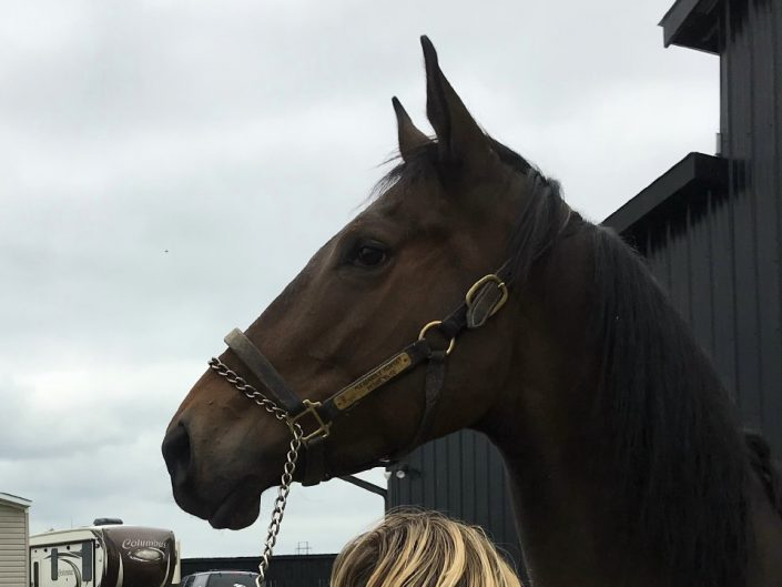 Outlaw Thoroughbred Horse For Sale 20171012 005
