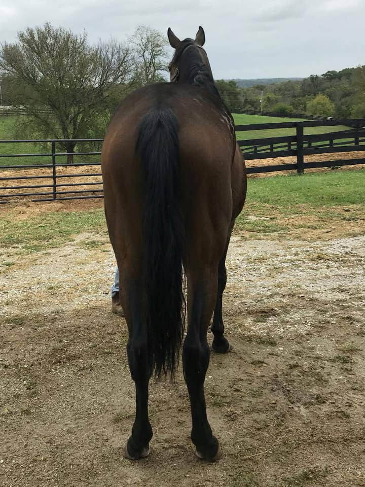 Outlaw Thoroughbred Horse For Sale 20171012 020