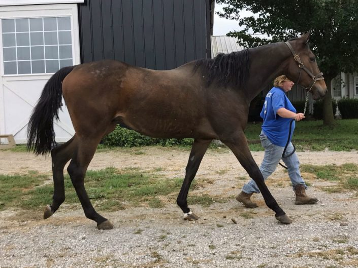 Outlaw Thoroughbred Horse For Sale 20171012 031