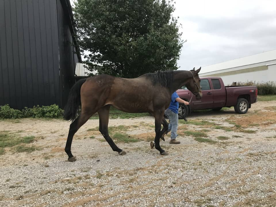 Outlaw Thoroughbred Horse For Sale 20171012 033