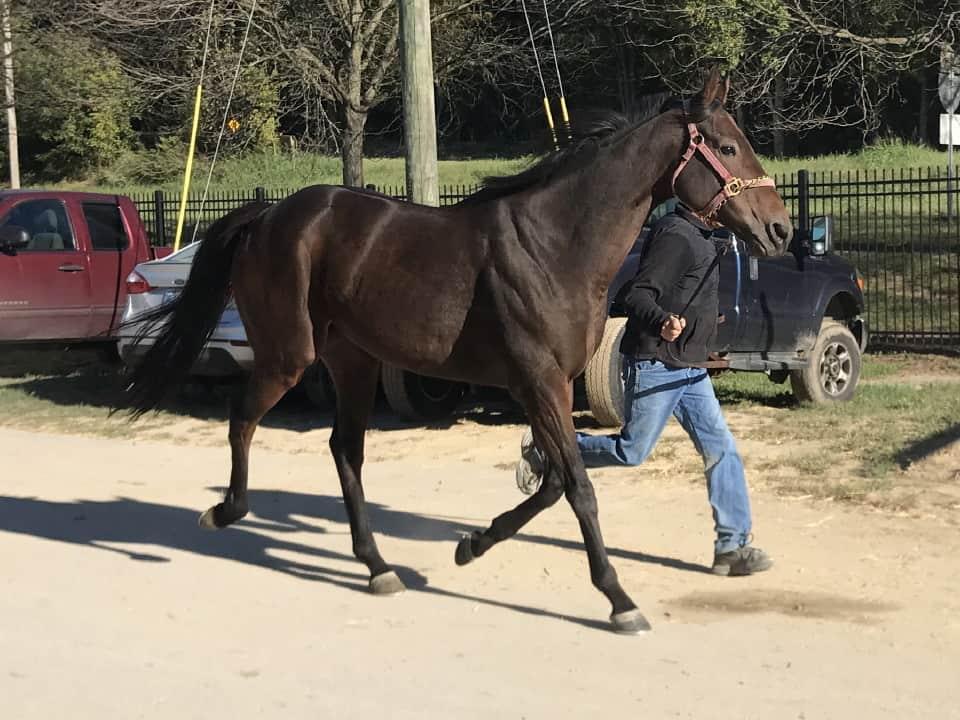 Sarge Thoroughbred Horse For Sale Bitsandbytesfarm 005