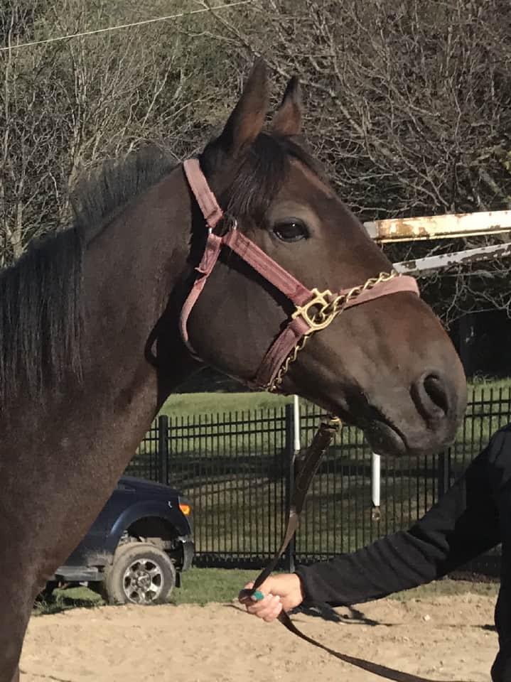 Sarge Thoroughbred Horse For Sale Bitsandbytesfarm 015