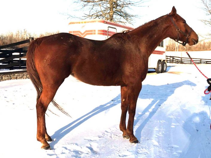 runaway beauty thoroughbred mare for sale 20180124 01