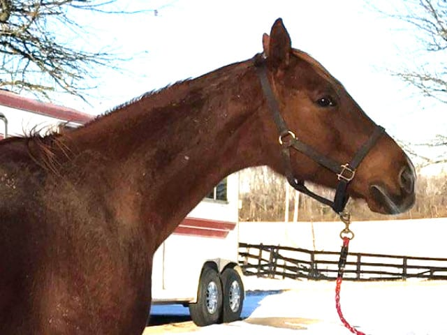 runaway beauty thoroughbred mare for sale 20180124 03h