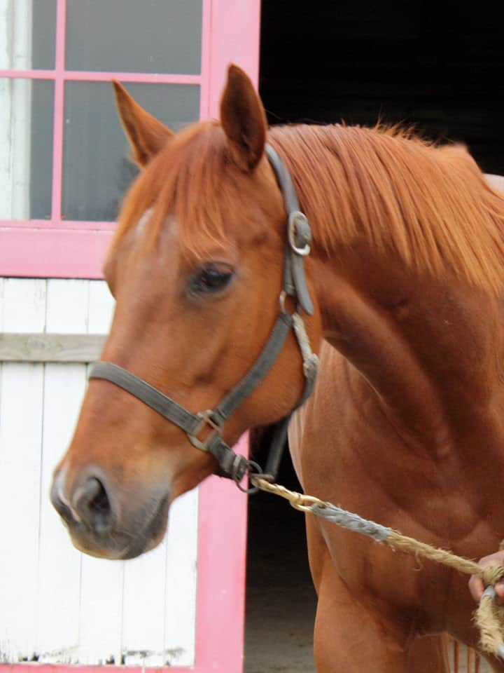 runaway beauty thoroughbred mare for sale 20180211 13h