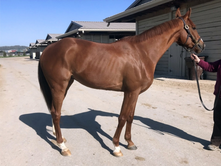 """""""The Pie"""" - Thoroughbred horse for sale horse"""