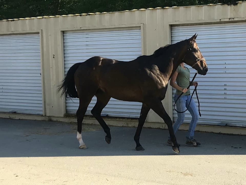 Swear thoroughbred horse for sale 20180727 007 1