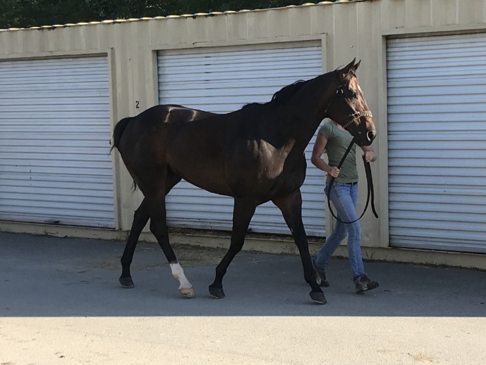 Swear thoroughbred horse for sale 20180727 008 1