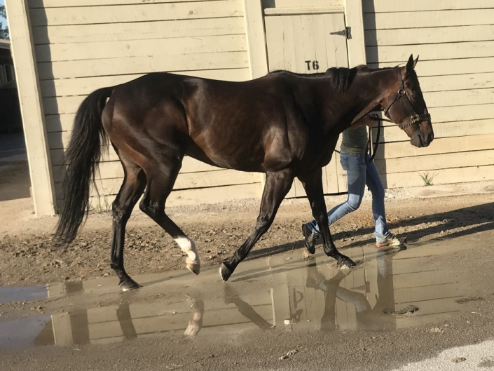 Swear thoroughbred horse for sale 20180727 011 1