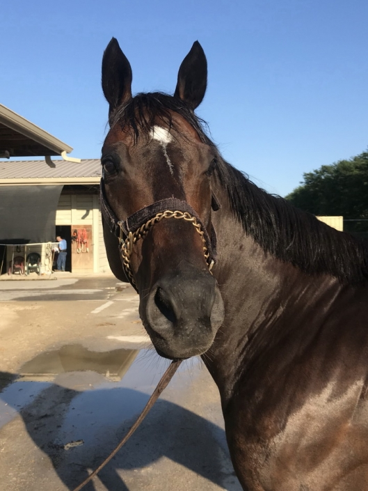 Swear thoroughbred horse for sale 20180727 016 1