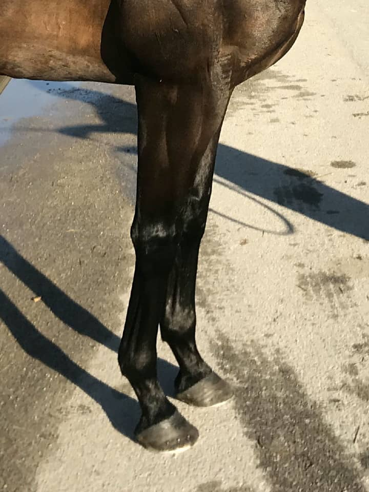 Swear thoroughbred horse for sale 20180727 028 1