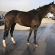 Bogside Thoroughbred Mare For Sale