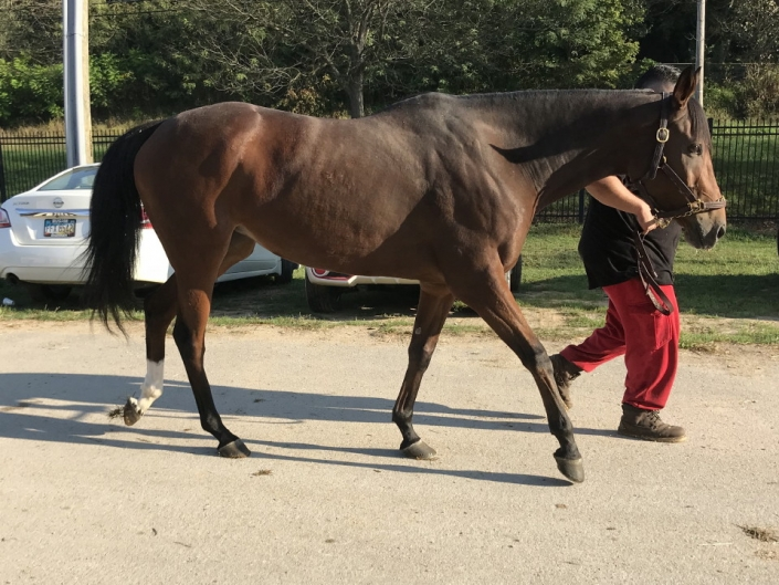 Appleslastchance Thoroughbred Mare For Sale 38
