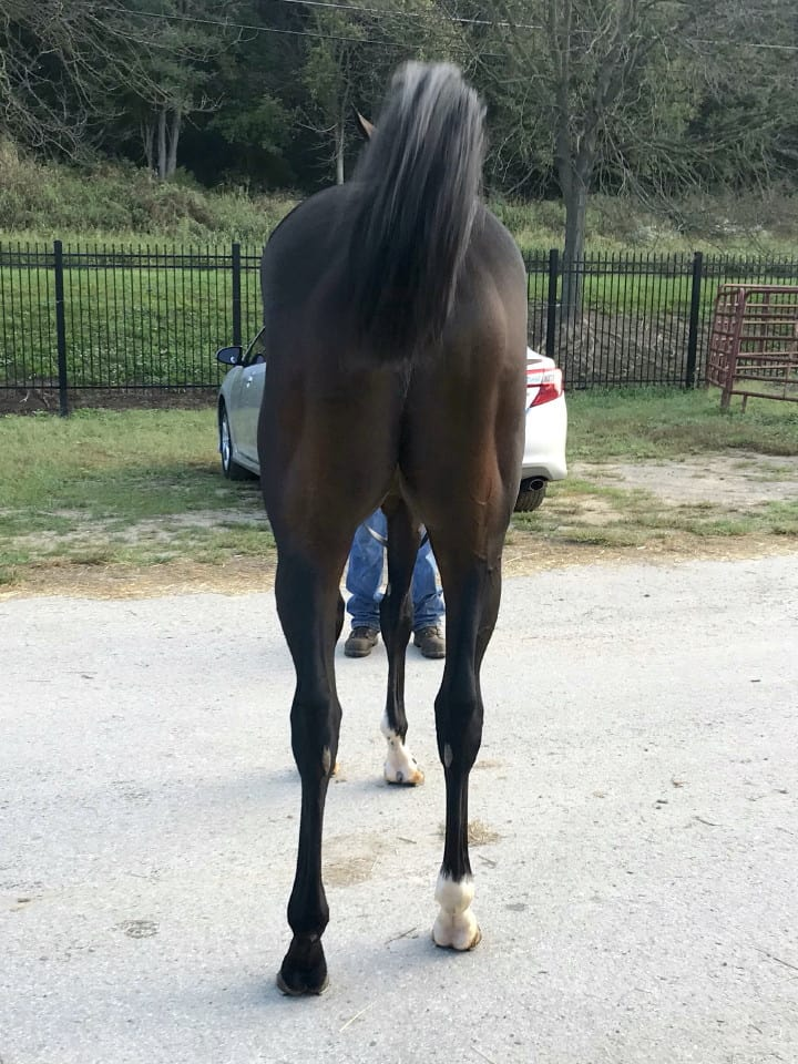 Game of Dreams Thoroughbred Horse For Sale 20181009 012