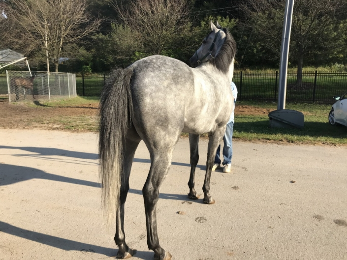 dappled grey throughbred horse for sale 05