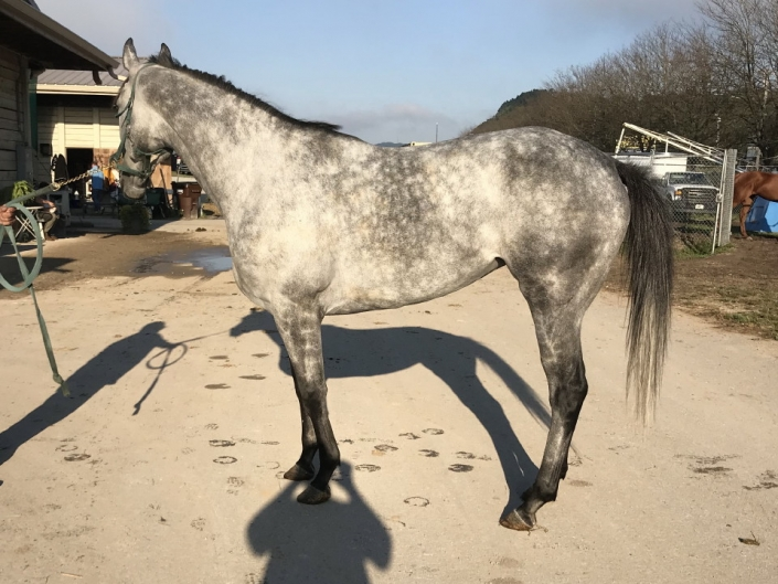 dappled grey throughbred horse for sale 07