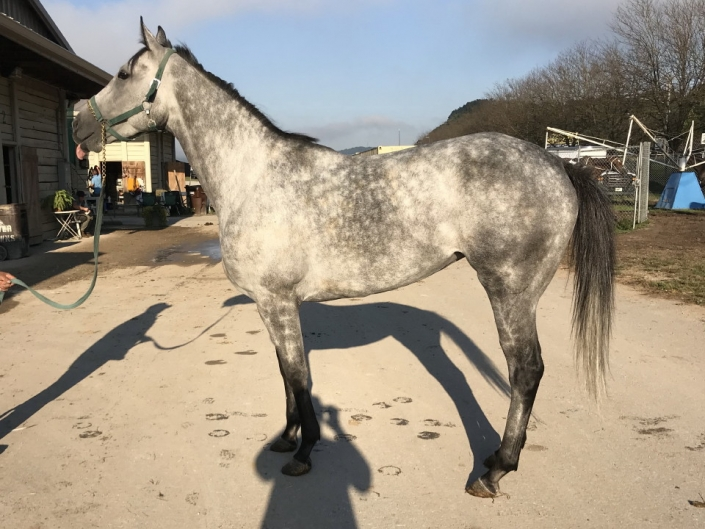 dappled grey throughbred horse for sale 08