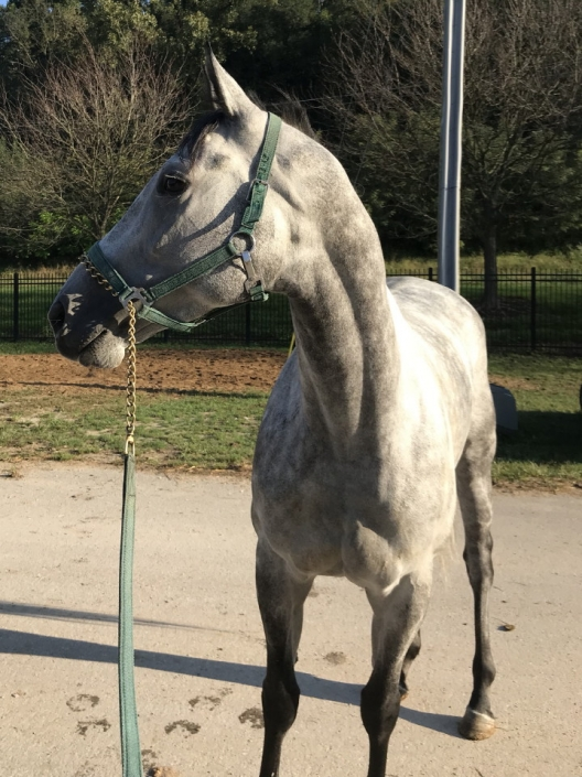 dappled grey throughbred horse for sale 14