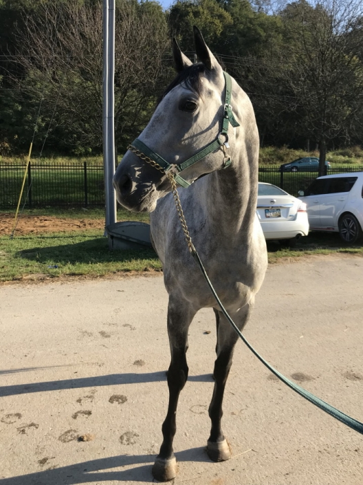 dappled grey throughbred horse for sale 15