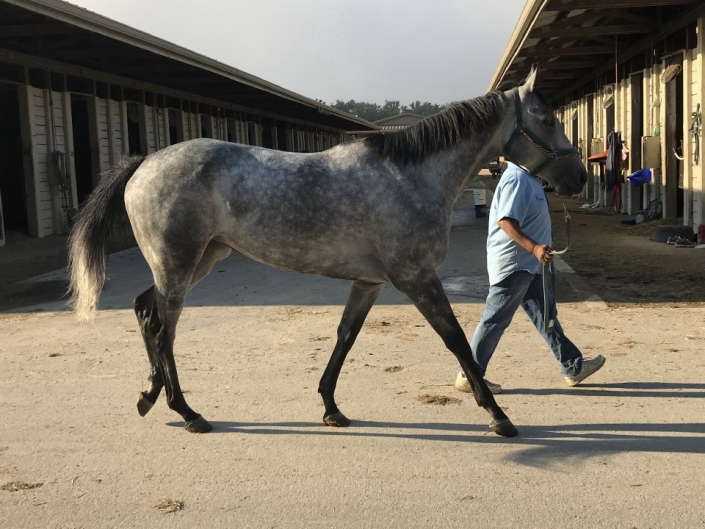 dappled grey throughbred horse for sale 16