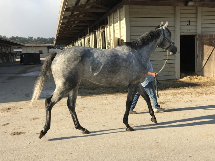 dappled grey throughbred horse for sale 17
