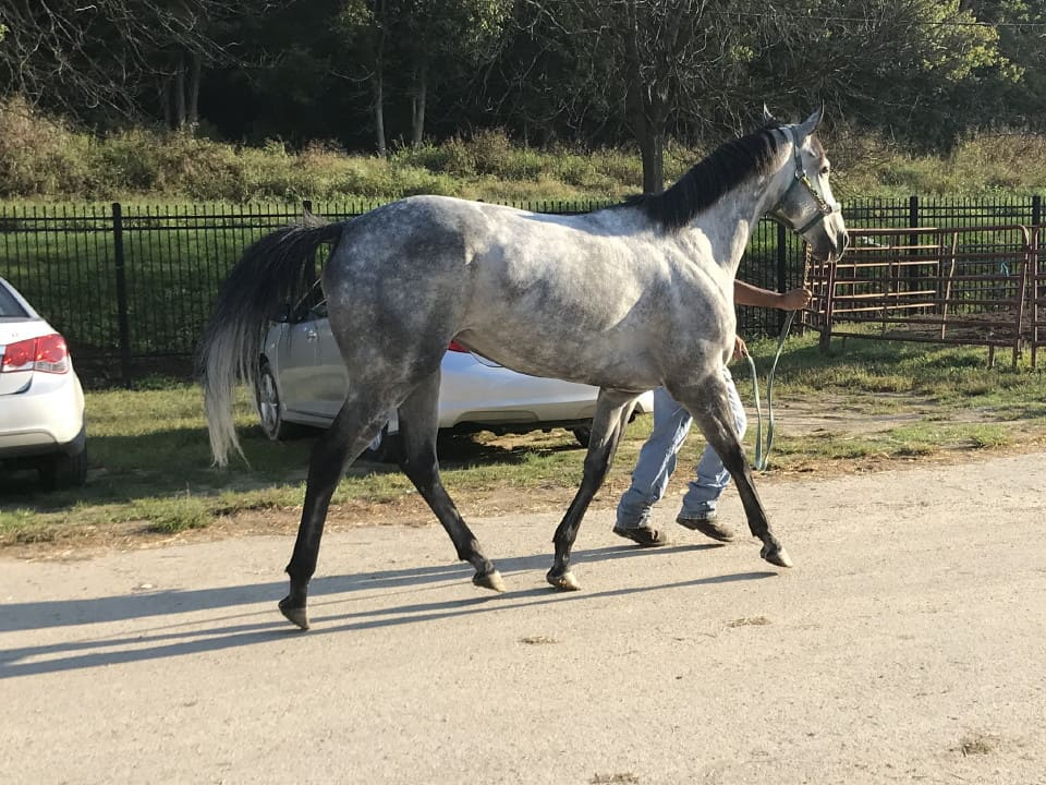 dappled grey throughbred horse for sale 21