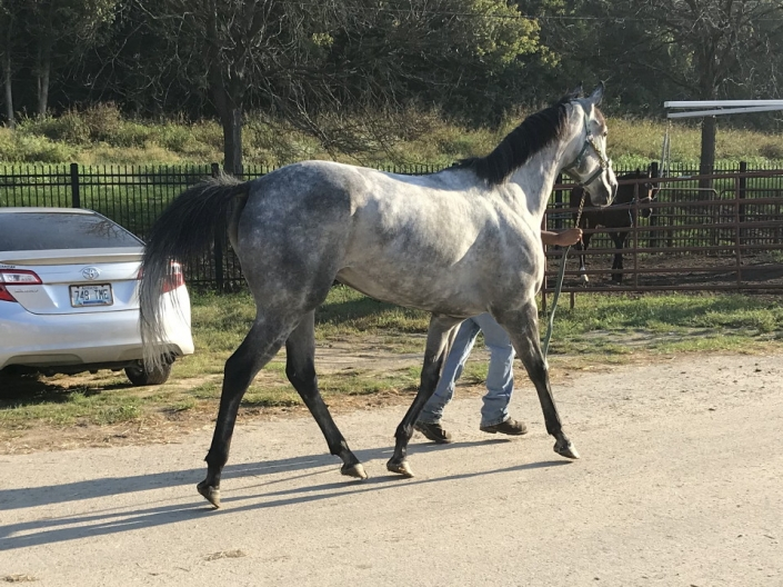 dappled grey throughbred horse for sale 22