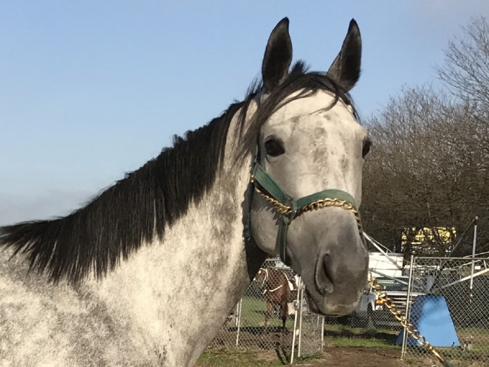 dappled grey throughbred horse for sale 26