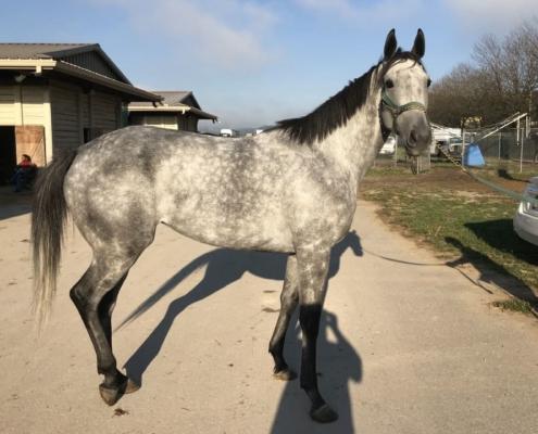 dappled grey throughbred horse for sale 27
