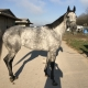 dappled grey throughbred horse for sale 27