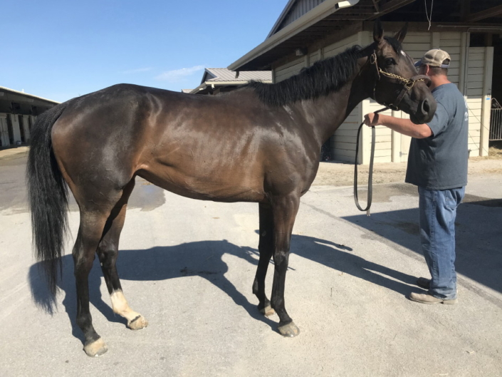 olympic mood thoroughbred for sale 20190626 005 1