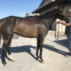 olympic mood thoroughbred for sale 20190626 005