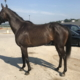 crafty valentine thoroughbred for sale 20190729 001