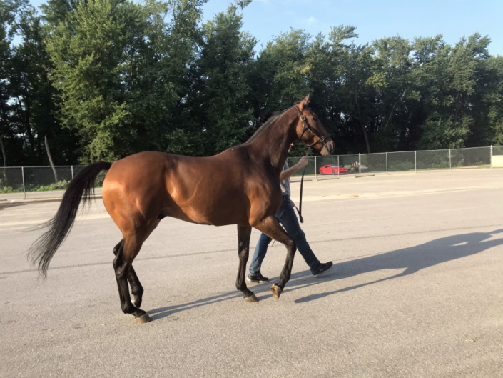 Perfect Comic - 16.3 hh Thoroughbred Horse For Sale