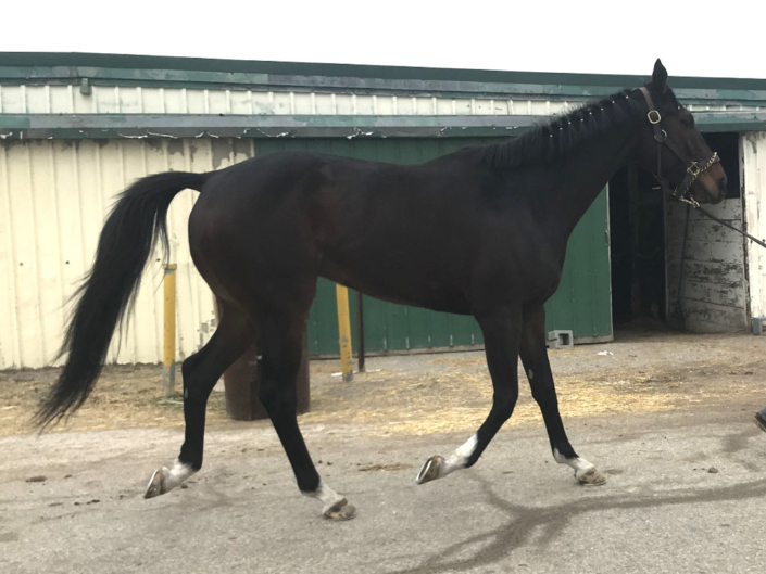Street Limit - Thoroughbred Horse For Sale - Bits & Bytes Farm