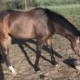 Fred's Baby Doll - Thoroughbred filly for sale 12s