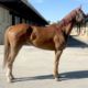 Chestnut Thoroughbred horse for sale - Bits & Bytes Farm
