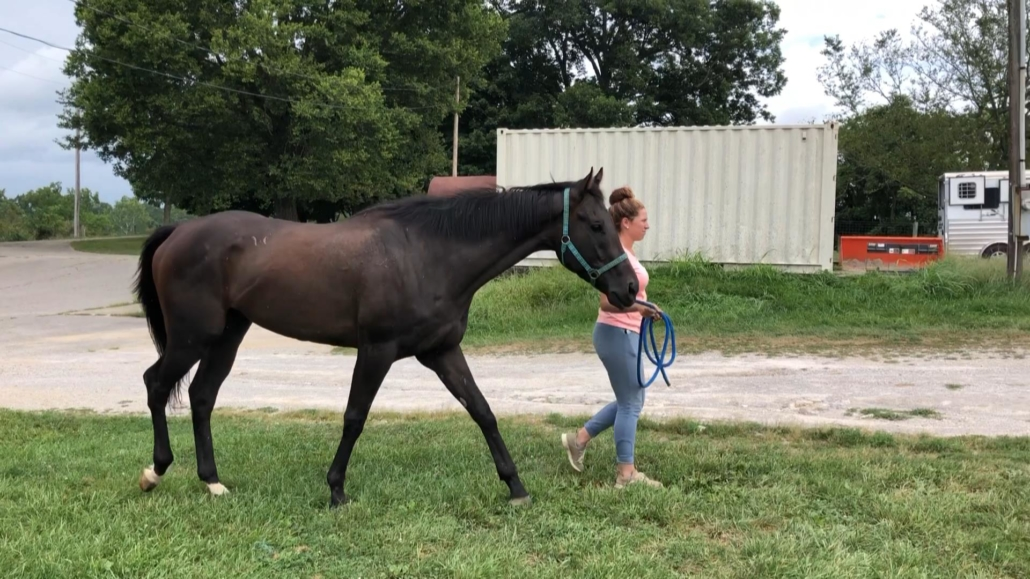 Palmerston - Thoroughbred Horse For Sale
