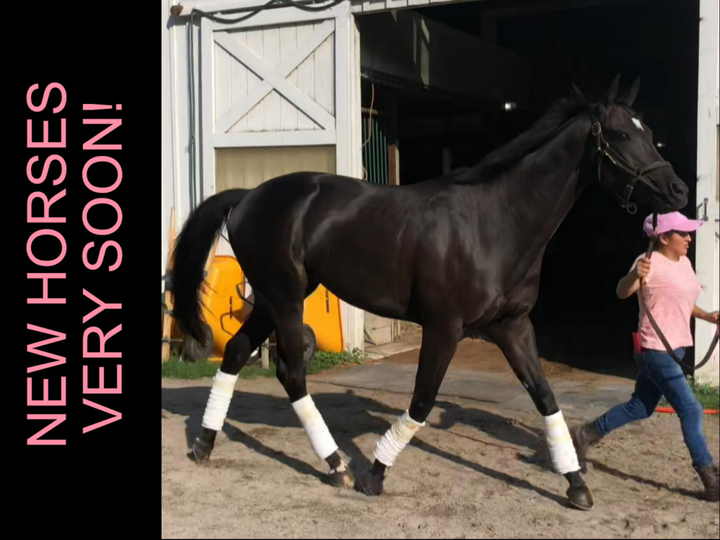 Falls Road - Thoroughbred Horse For Sale
