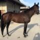 Utandream - Thoroughbred Horse For Sale in Arizona