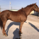 Pitman Valley - Thoroughbred Horse For Sale
