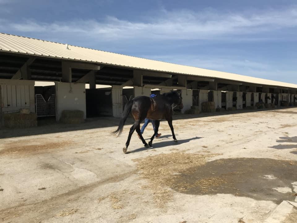Earlymorningrain - Large Thoroughbred gelding for sale